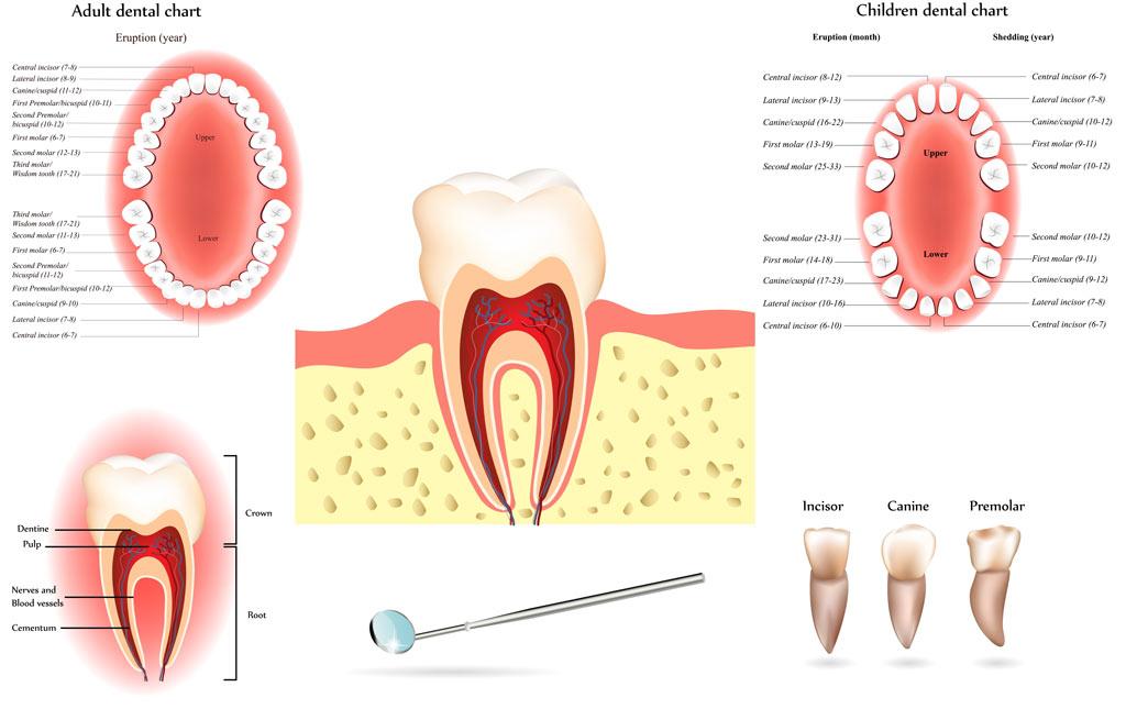 tooth anatomy southlake endo
