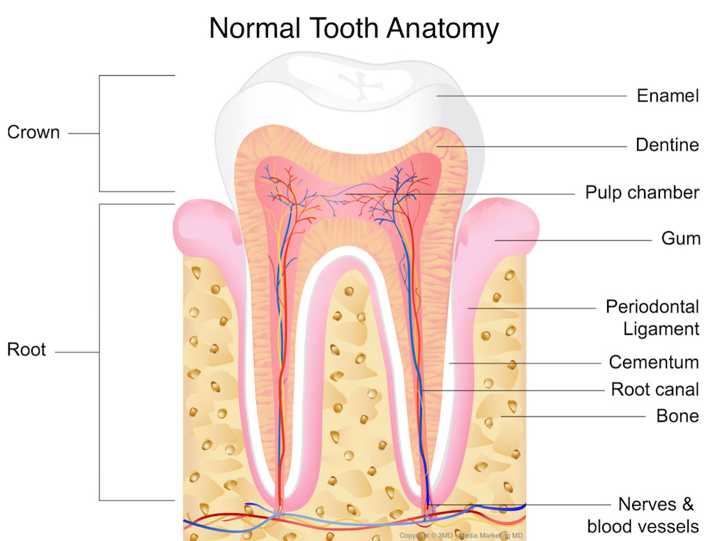 normalna anatomija zuba